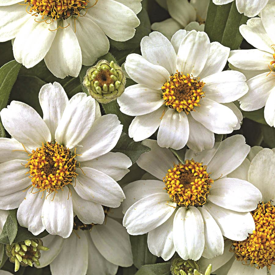 Profusion White Zinnia Seeds Image