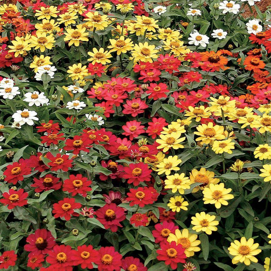 Profusion Full Mix Zinnia Seeds Image