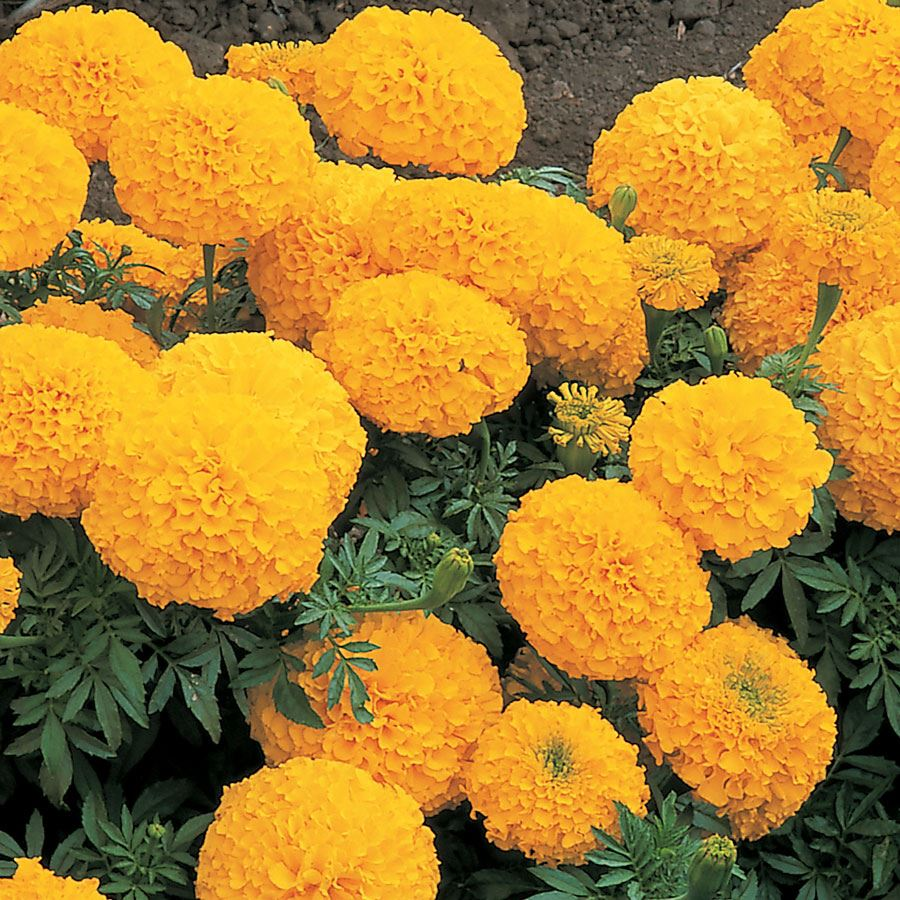 Inca II Gold Hybrid Marigold Seeds Image