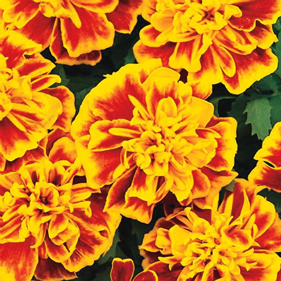 Bonanza™ Bee Marigold Seeds Image