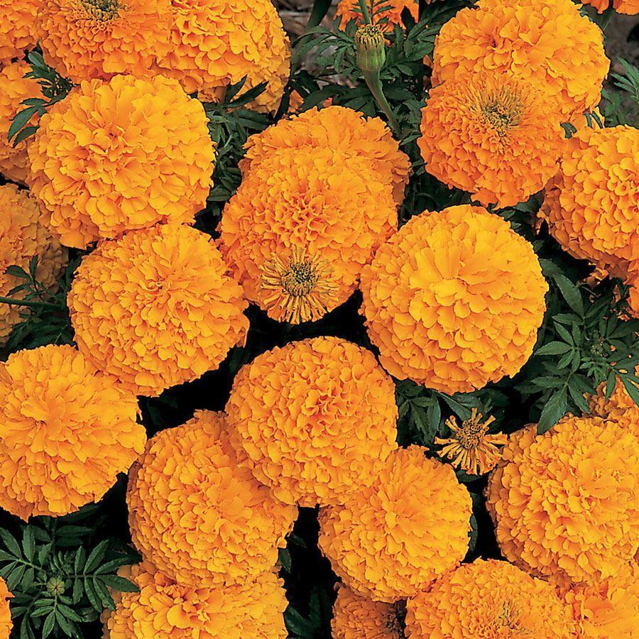 Inca II Orange Hybrid Marigold Seeds Image