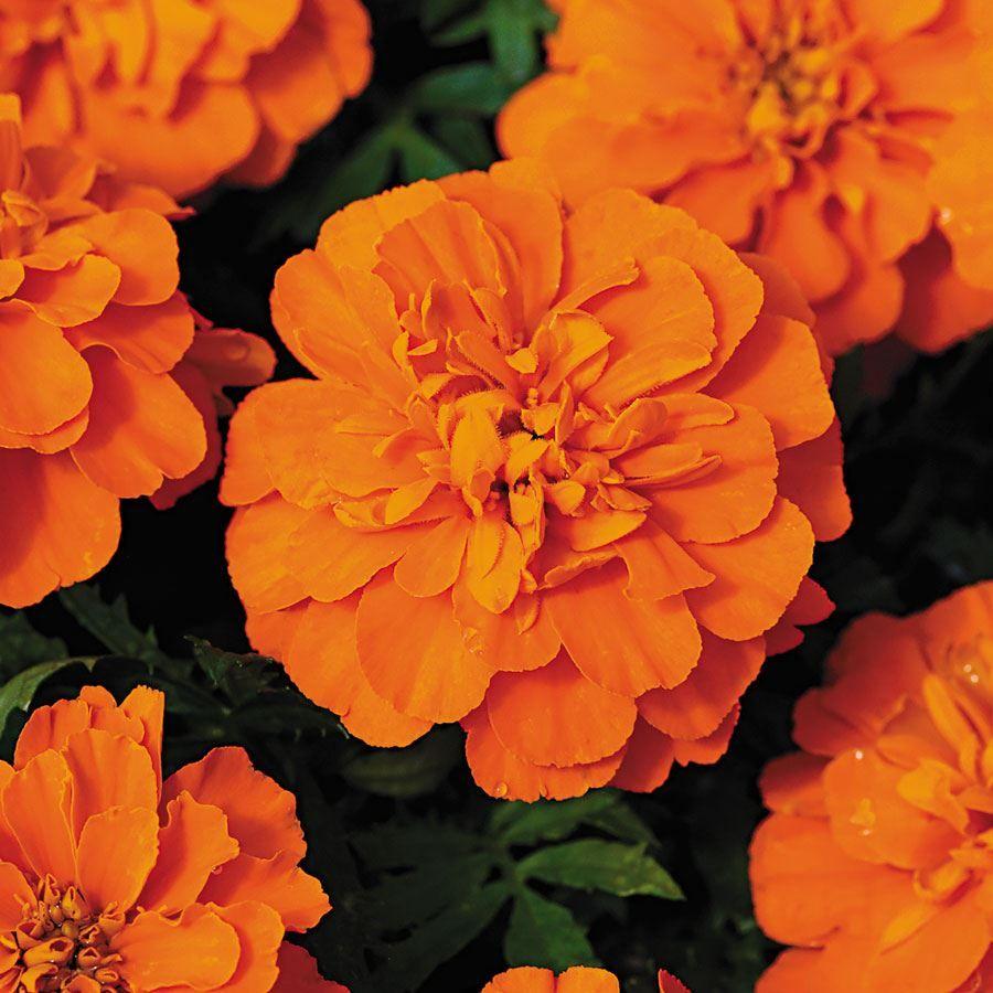 Bonanza™ Deep Orange Marigold Seeds Image