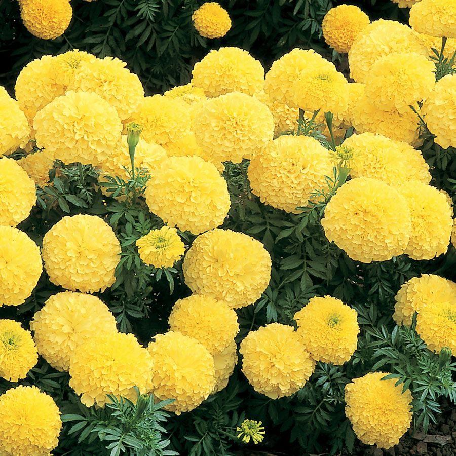 Inca II Primrose Hybrid Marigold Seeds Image