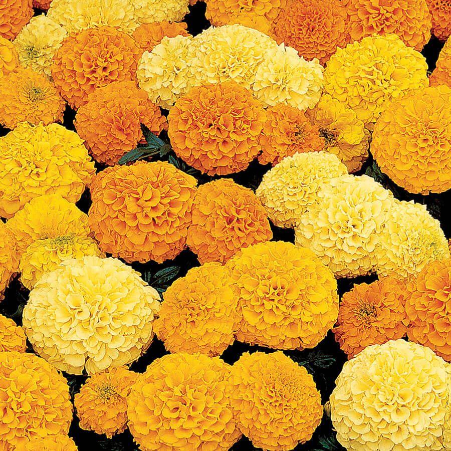 Inca II Hybrid Mix Marigold Seeds Image