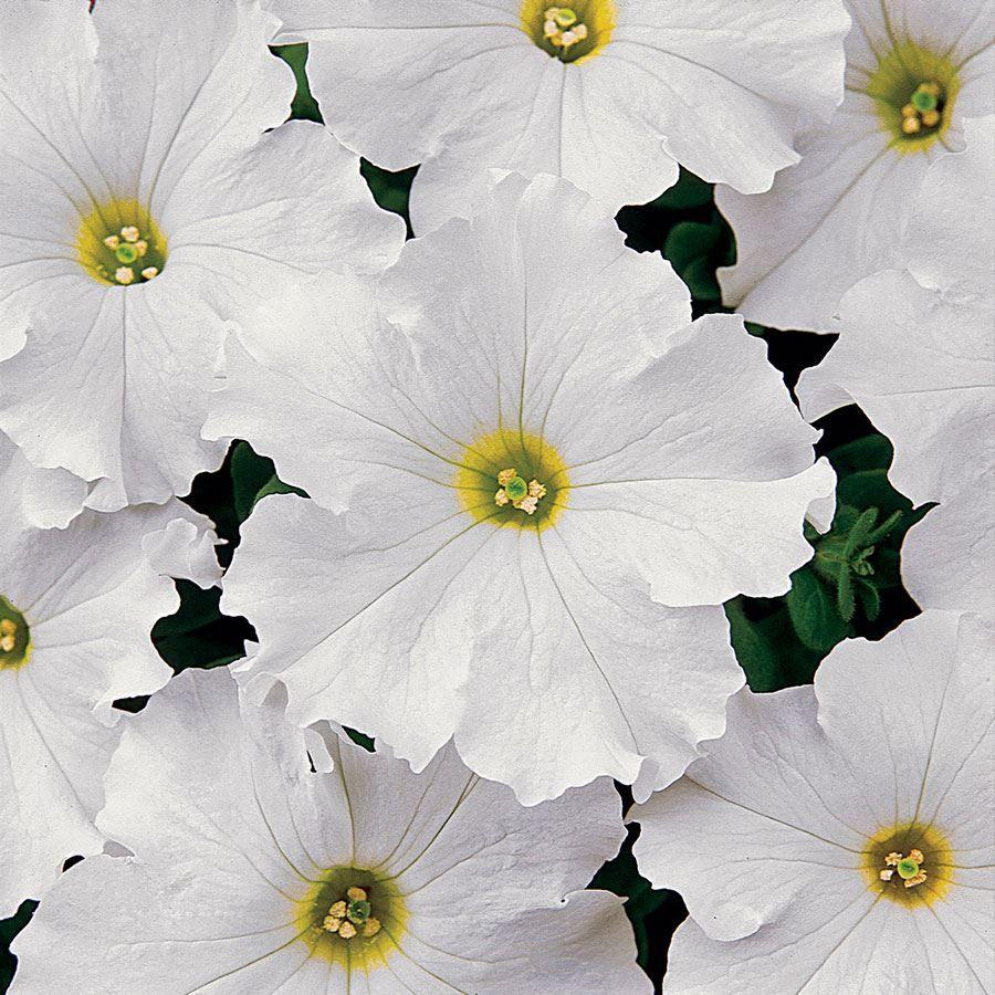 Dreams™ White Petunia Seeds Image