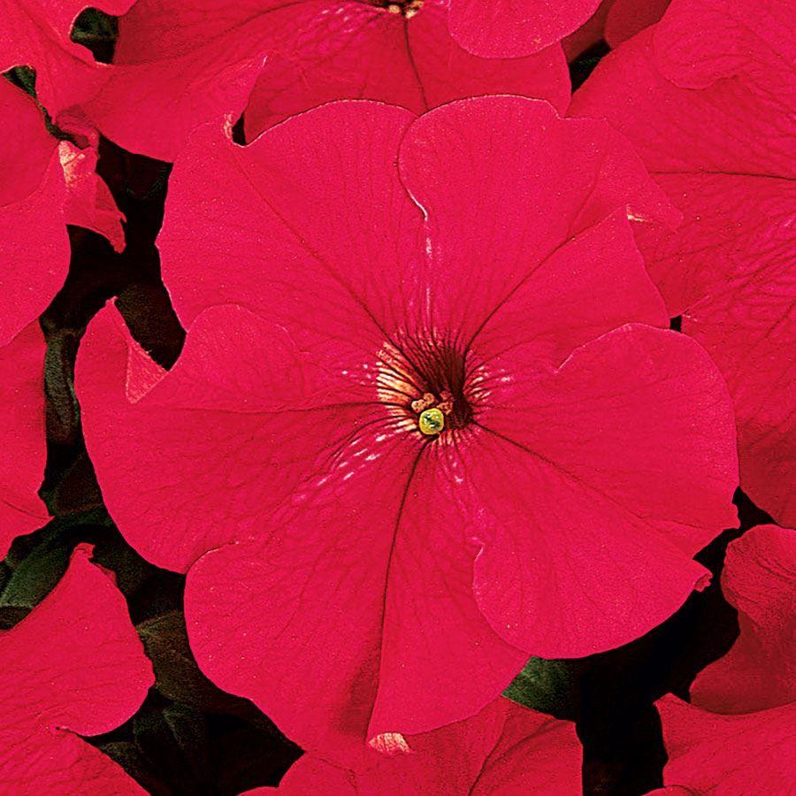 Dreams™ Red Petunia Seeds Image