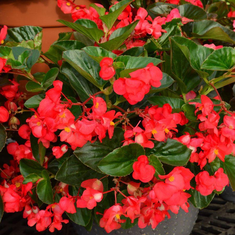 BIG™ Red with Green Leaf Begonia Seeds Image