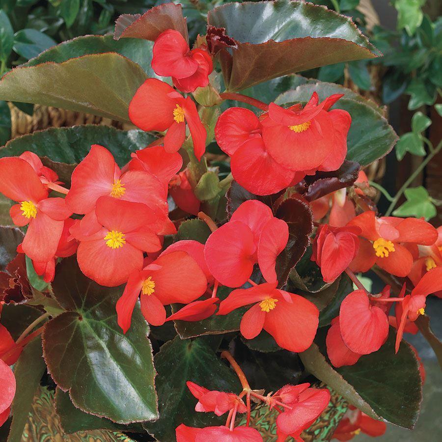 BIG™ Red with Bronze Leaf Begonia Seeds Image