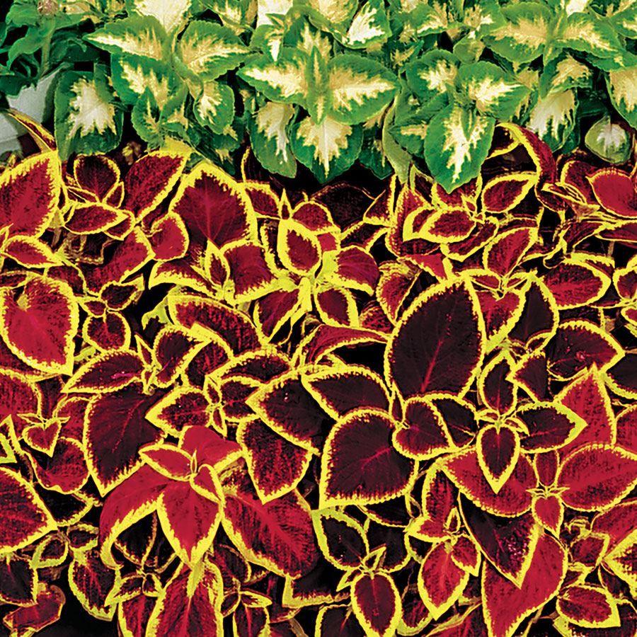 Wizard® Scarlet Coleus Seeds Image