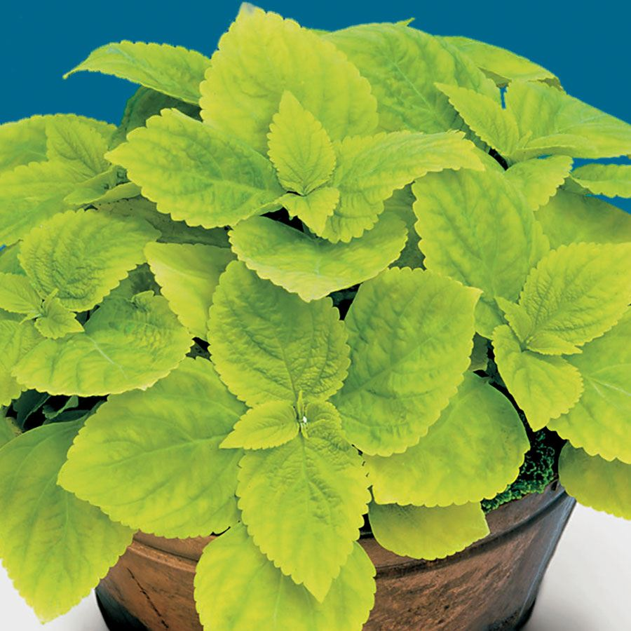 Giant Exhibition™ Limelight Coleus Seeds Image