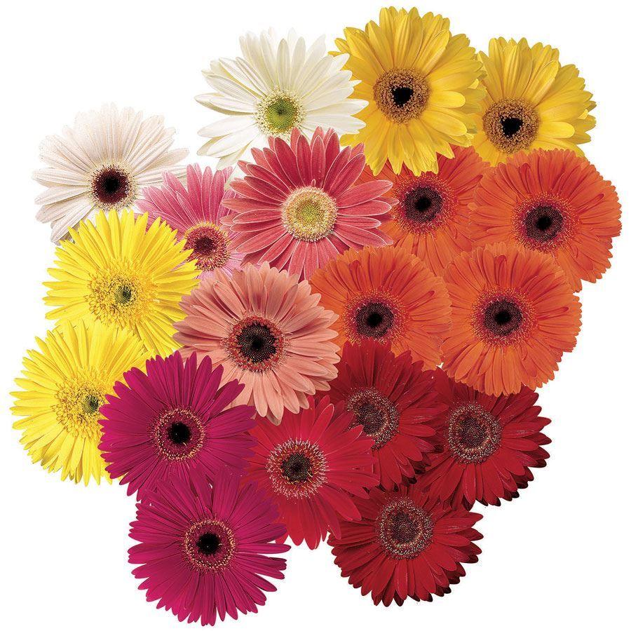 Festival Grower Select Mix Hybrid Gerbera Daisy Seeds Image