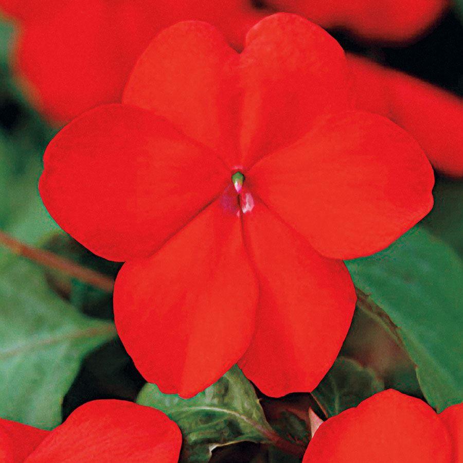 Super Elfin® XP Red Hybrid Impatiens Seeds Image