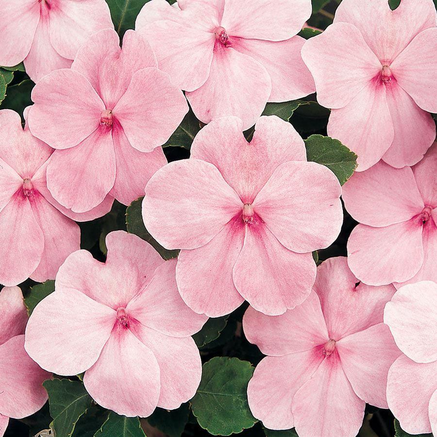 Super Elfin® XP Pink Hybrid Impatiens Seeds Image