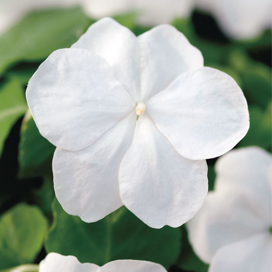 Super Elfin® XP White Hybrid Impatiens Seeds Image