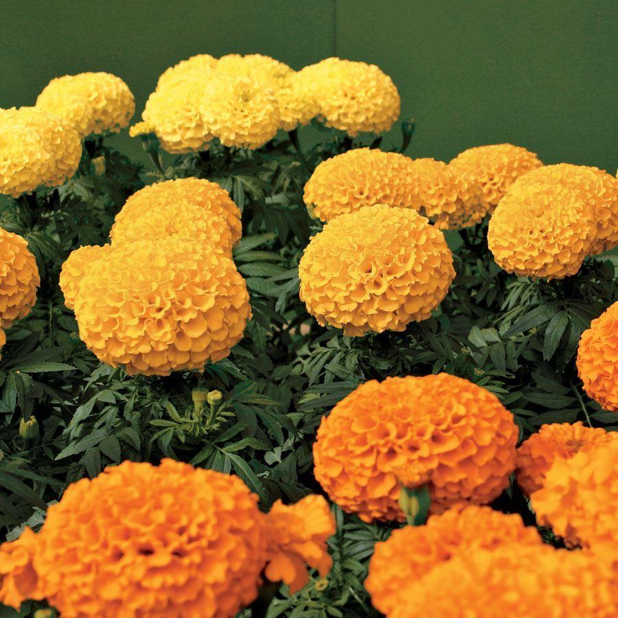 Park's Whopper Mix Marigold Seeds Image