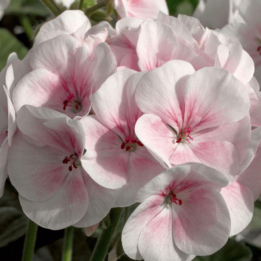 Maverick™ Appleblossom Hybrid Geranium Seeds Image