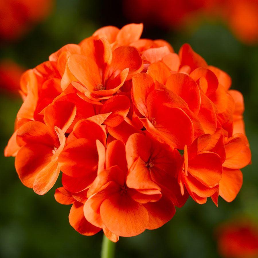 Maverick™ Orange Geranium Seeds Image