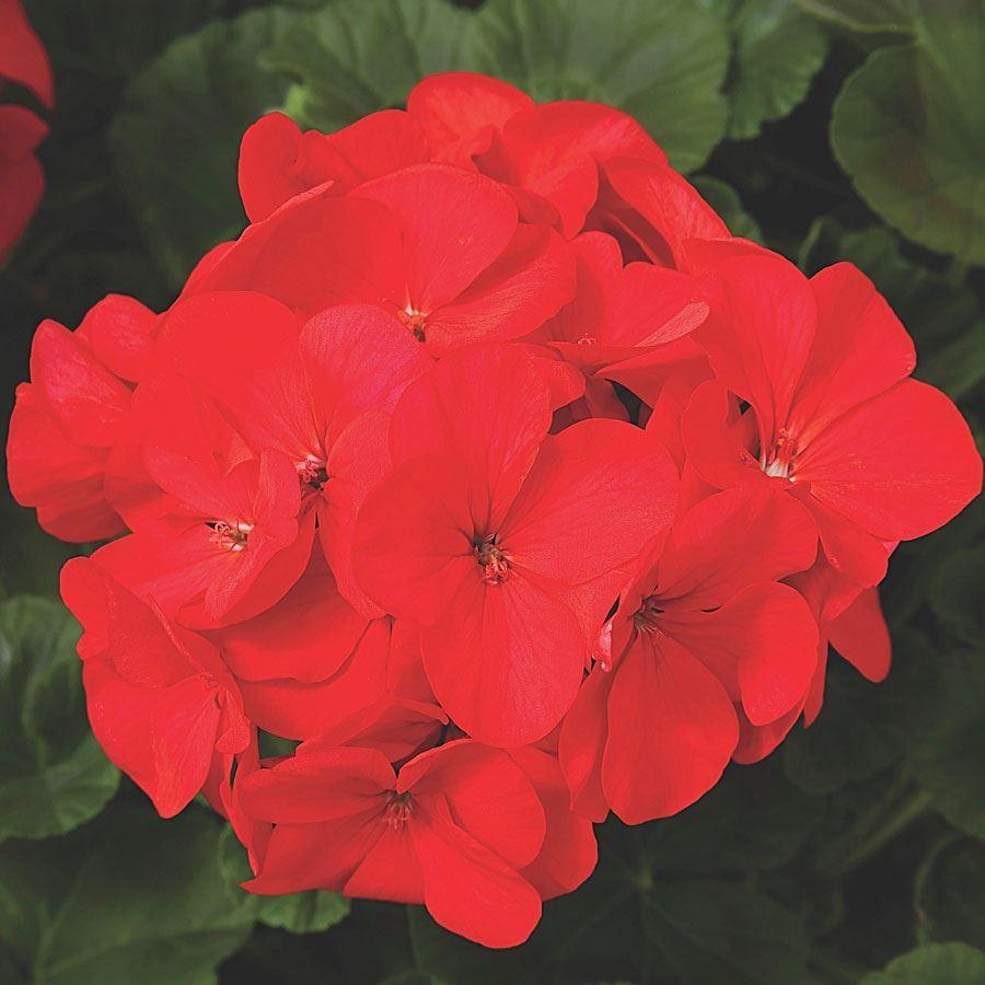 Maverick™ Red Hybrid Geranium Seeds Image