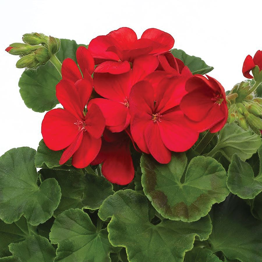 Multibloom™ Red Hybrid Geranium Seeds Image