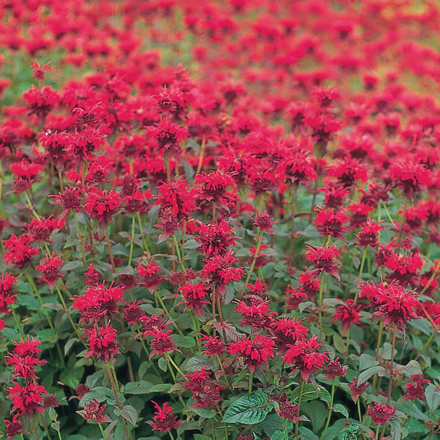 Panorama Red Shades Monarda Seeds Image