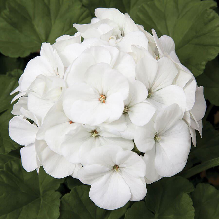 Maverick™ White Hybrid Geranium Seeds Image