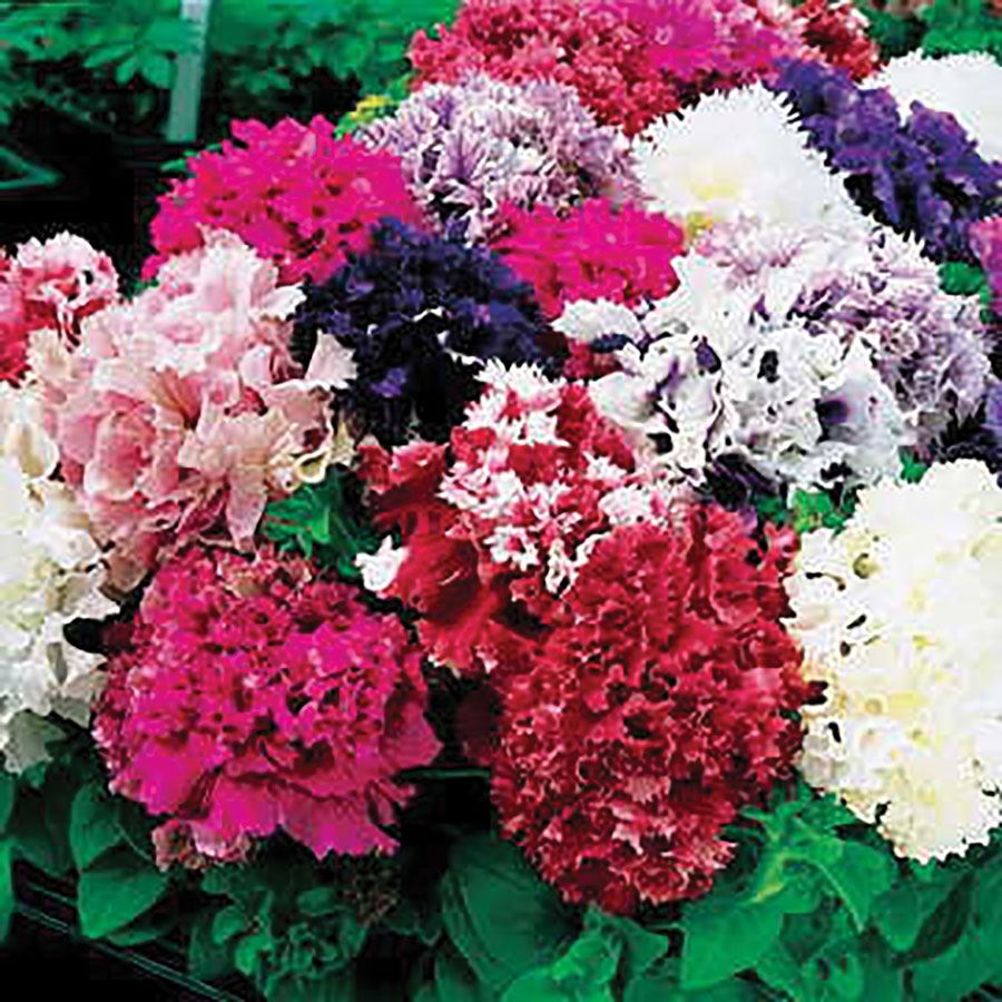 Park's All Double Mix Petunia Seeds Image