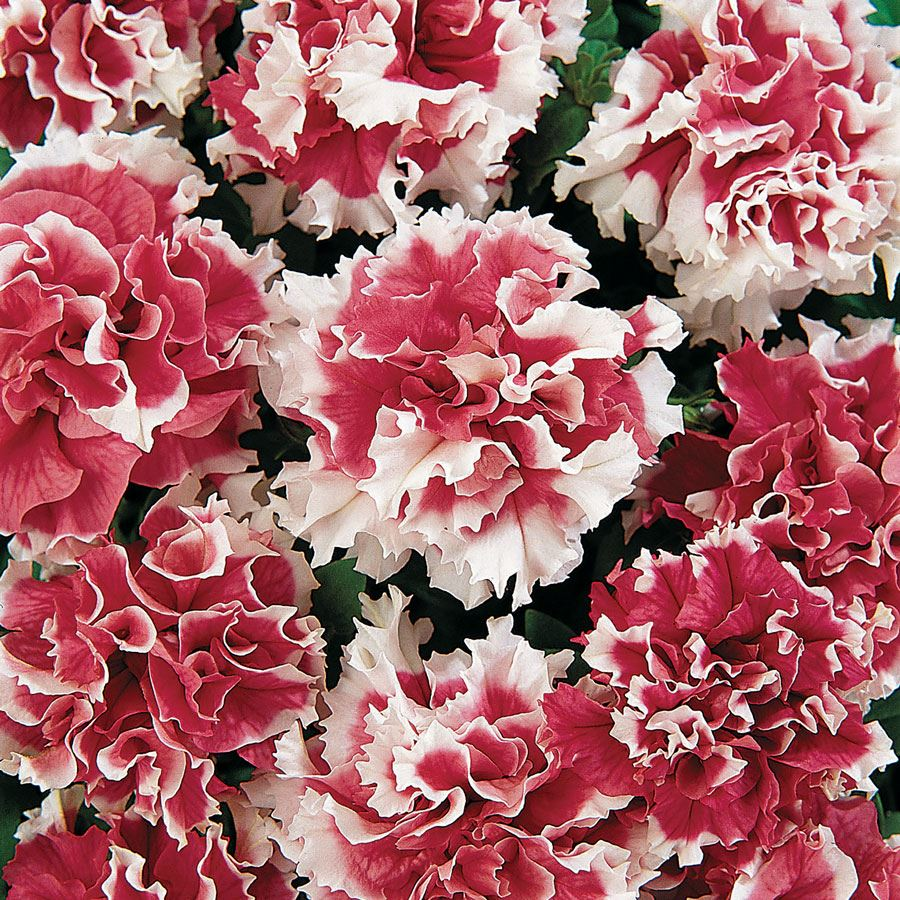 Pirouette Red Double Petunia Seeds Image