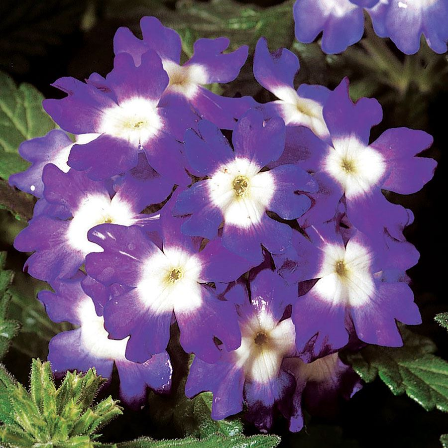 Obsession™ Blue with Eye Verbena Seeds Image
