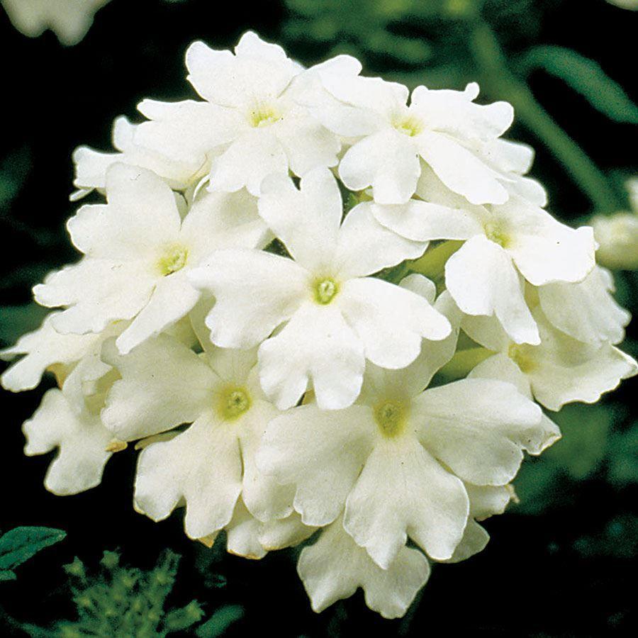 Obsession™ White Hybrid Verbena Seeds Image