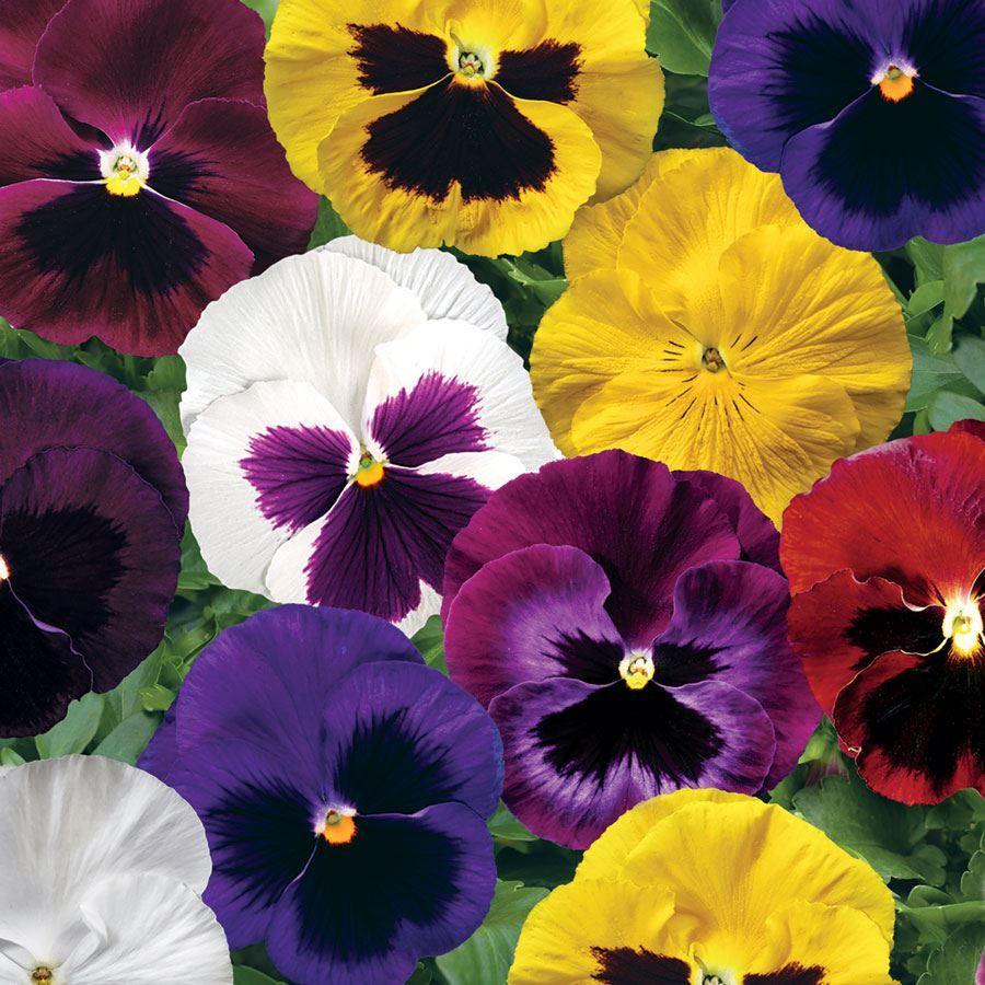 Colossus™ Mix Hybrid Pansy Seeds Image