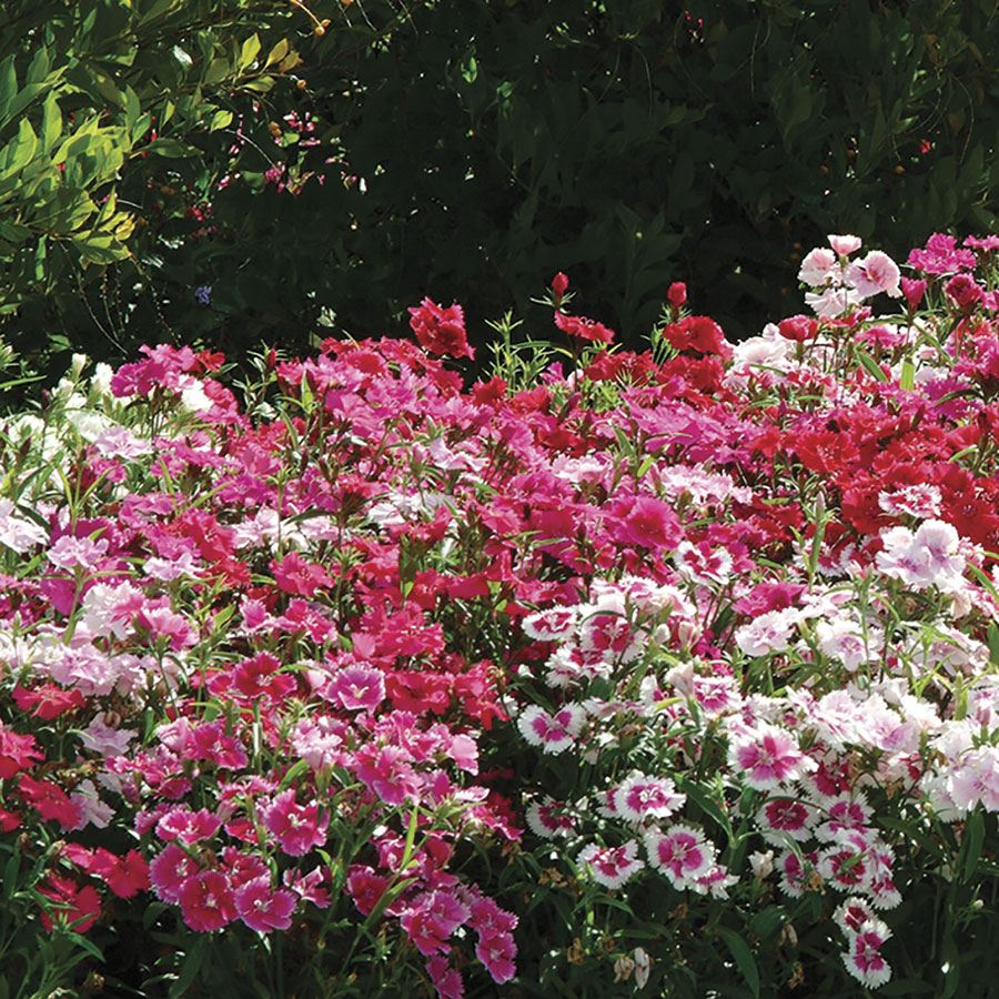 Ideal Select™ Hybrid Mix Dianthus Seeds Image
