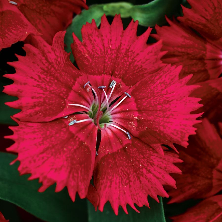 Ideal Select™ Red Hybrid Dianthus Seeds Image