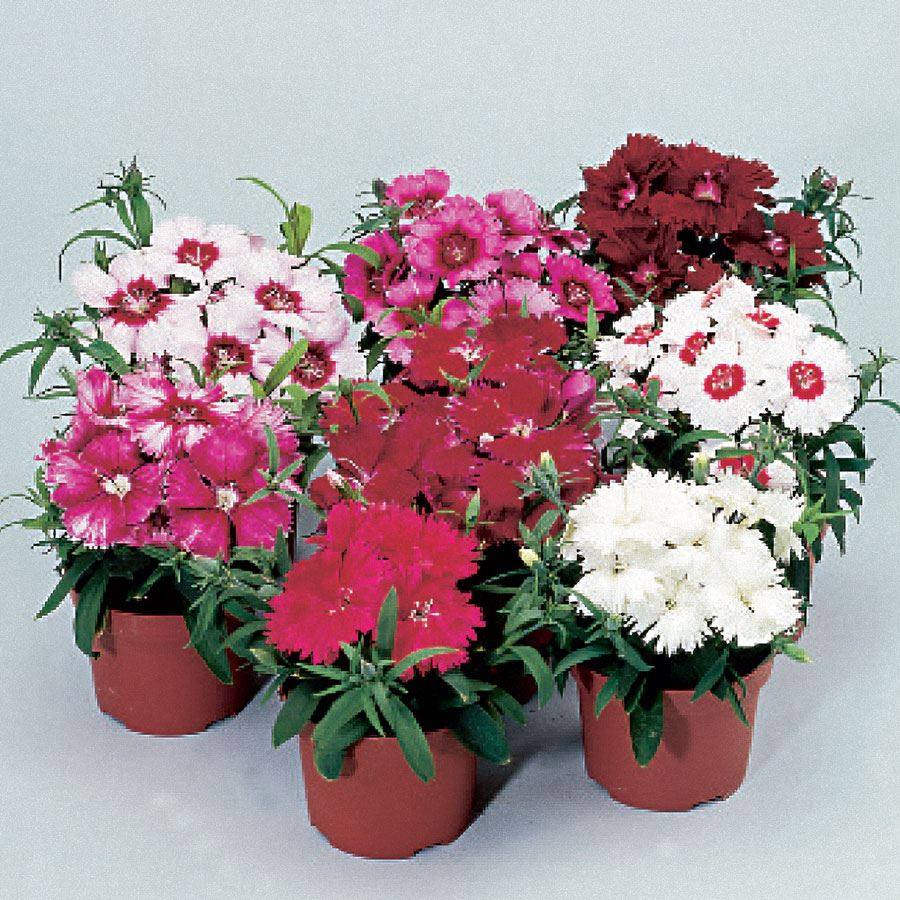 Diana Full Mix Dianthus Seeds Image