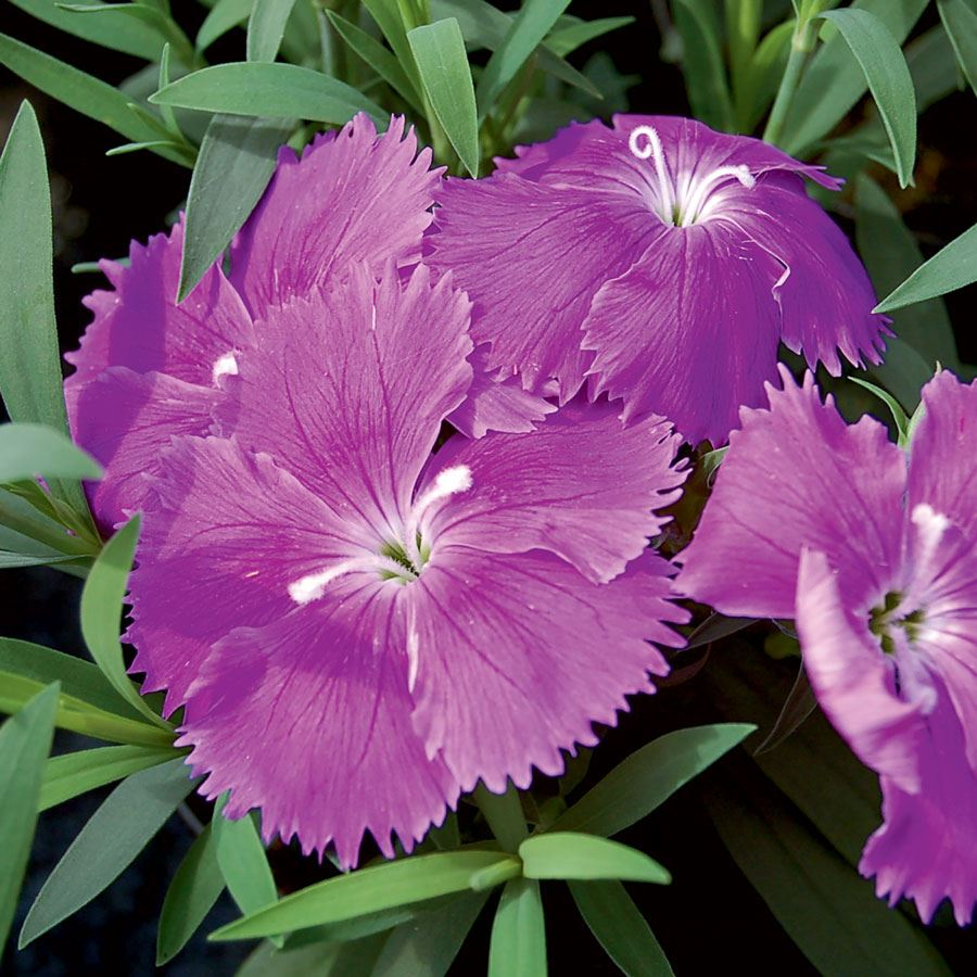 Diana Blueberry Dianthus Seeds Image