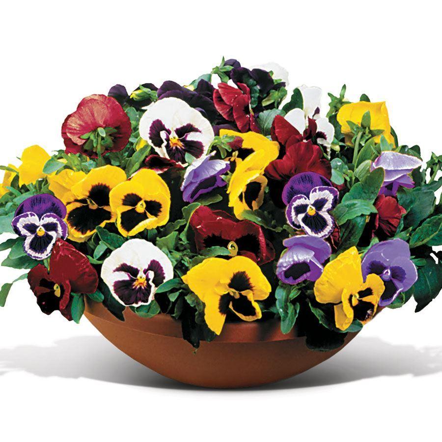 Matrix® Full Mix Hybrid Pansy Seeds Image