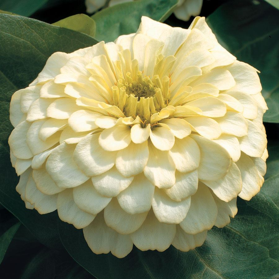 Magellan™ Ivory Zinnia Seeds Image