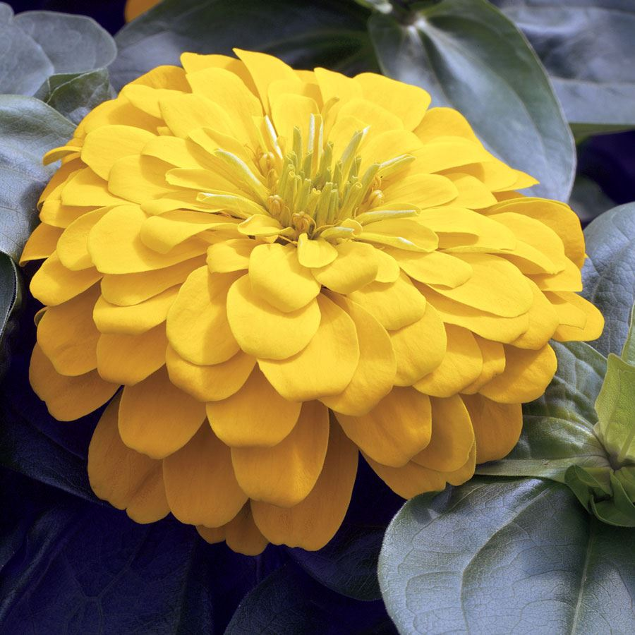 Magellan™ Yellow Zinnia Seeds Image