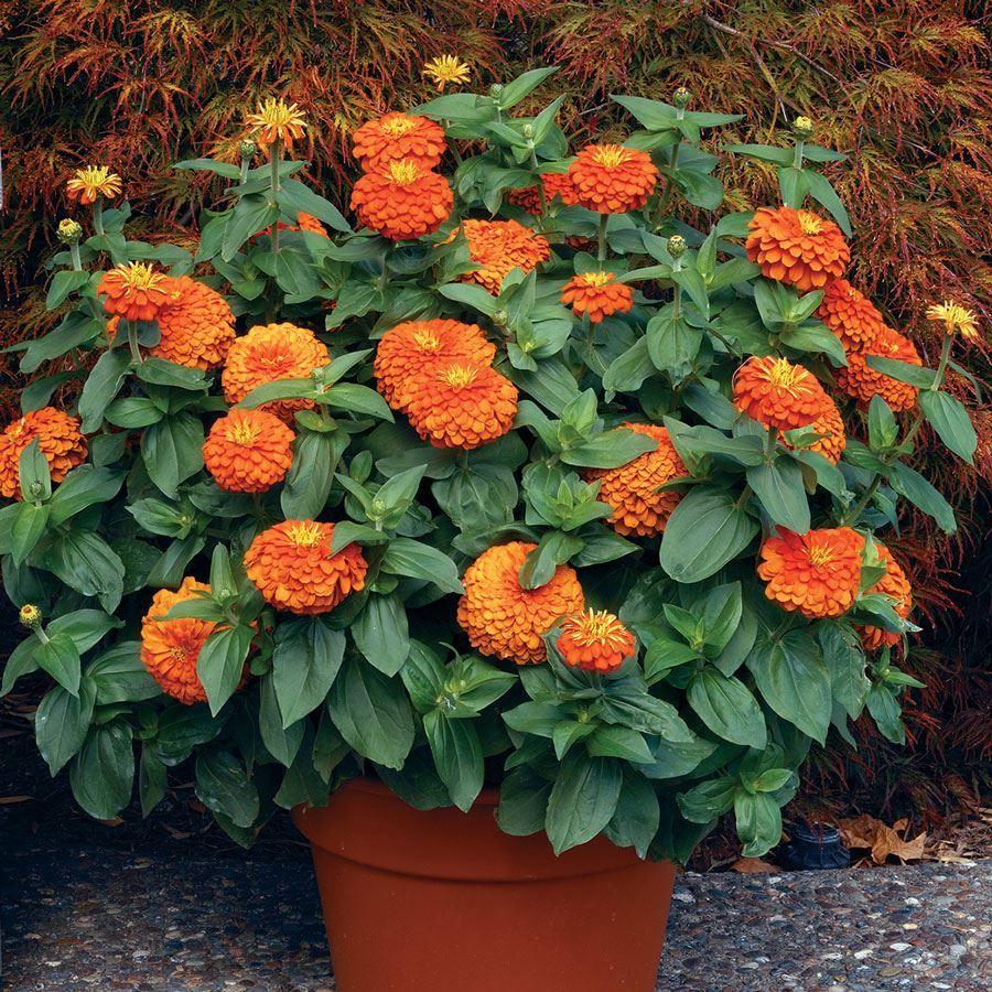 Magellan™ Orange Zinnia Seeds Image