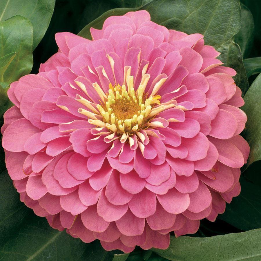 Magellan™ Pink Zinnia Seeds Image