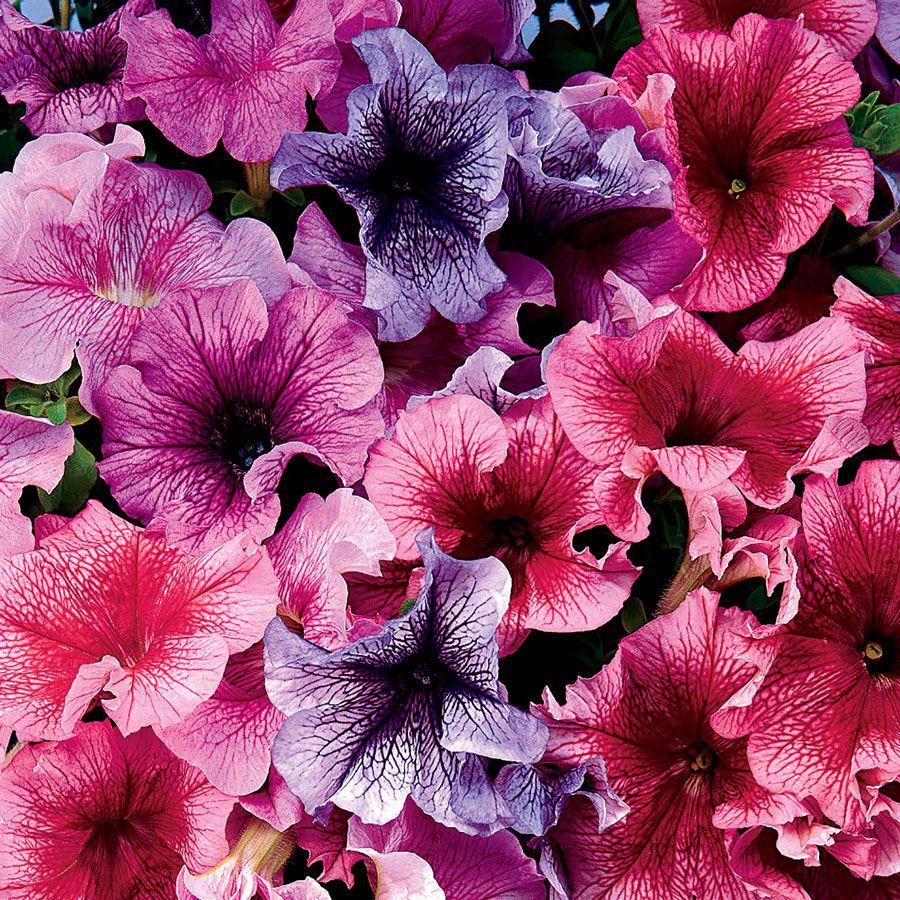 Daddy® Mix Petunia Seeds Image
