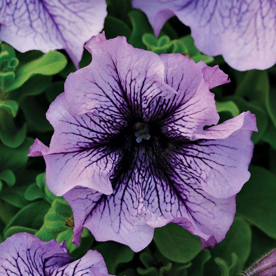 Daddy® Blue Petunia Seeds Image