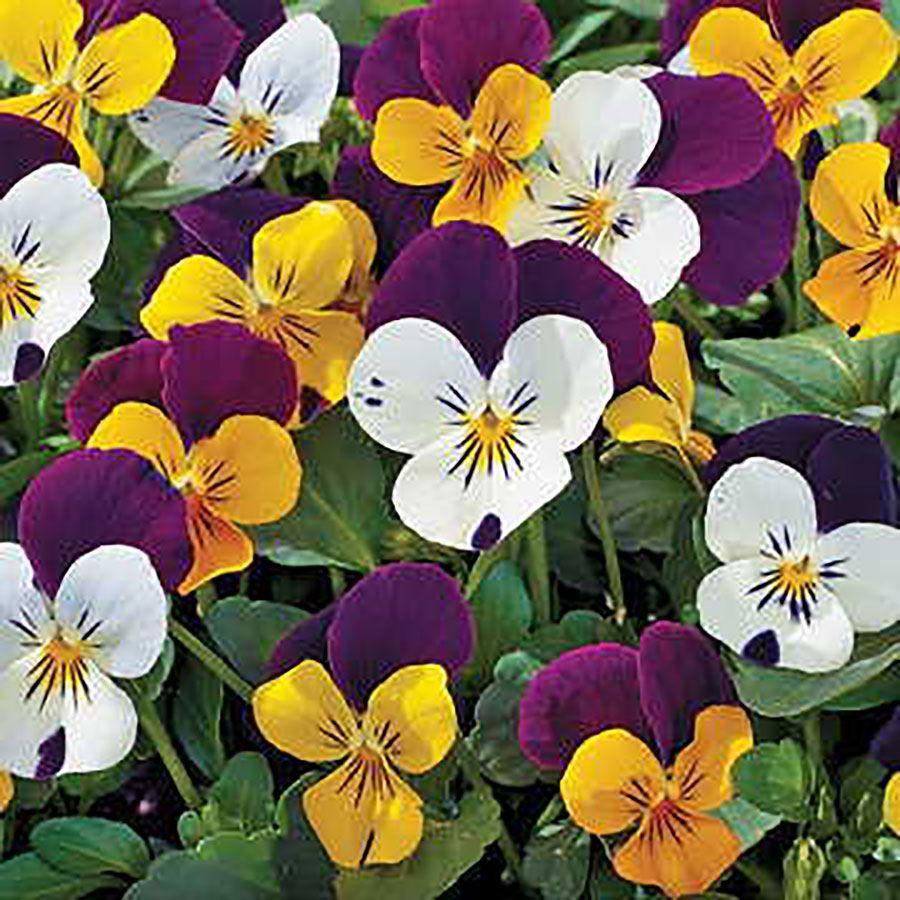 Jump-up Mix Viola Seeds Image