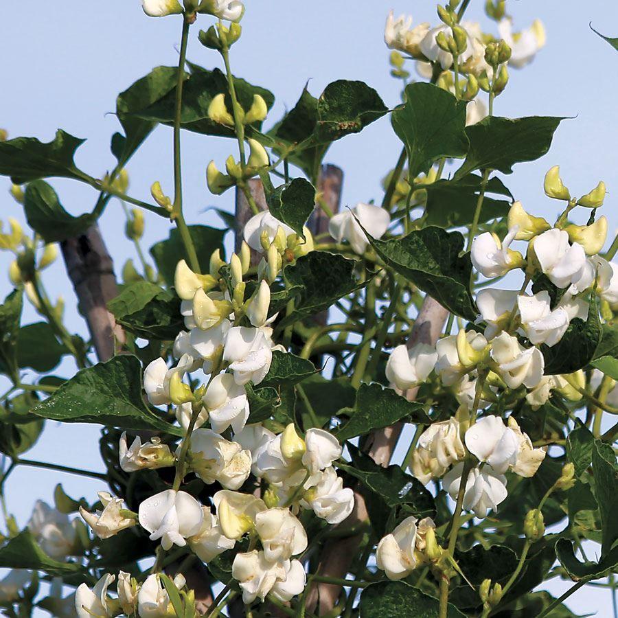 Hyacinth Pole Bean Seeds Image