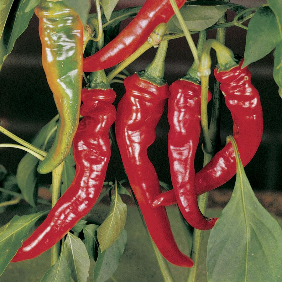 Long Red Slim Cayenne Pepper Seeds Image