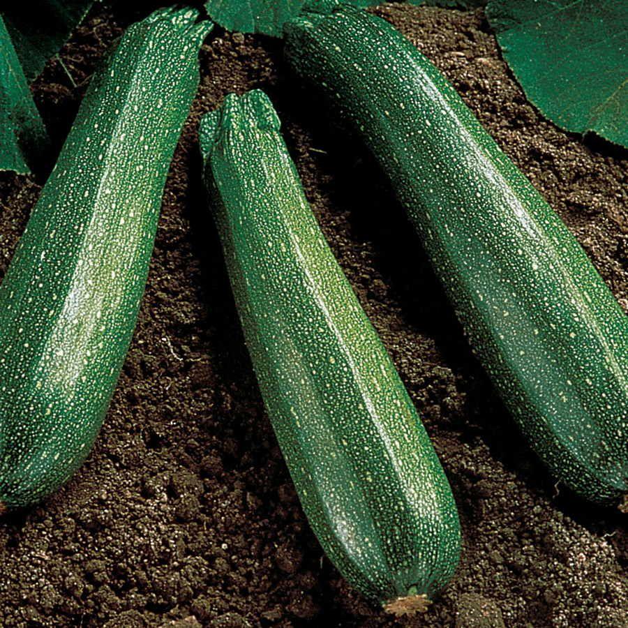 Spineless Beauty Hybrid Squash Seeds Image