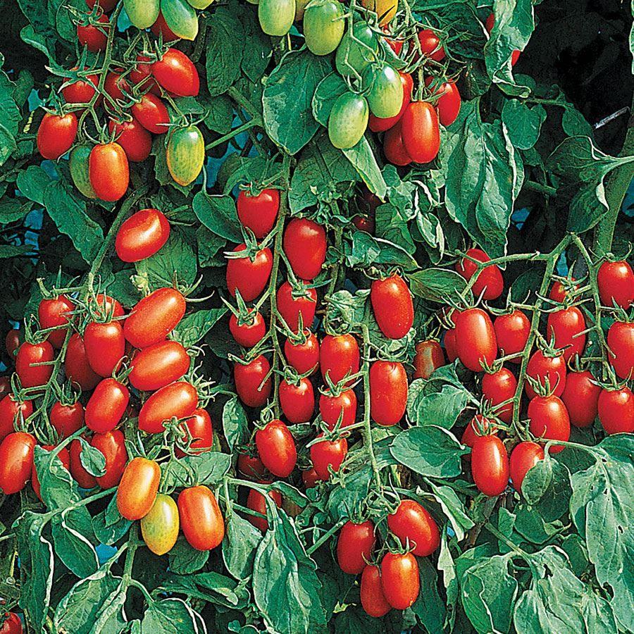 Juliet Hybrid Tomato Seeds Image