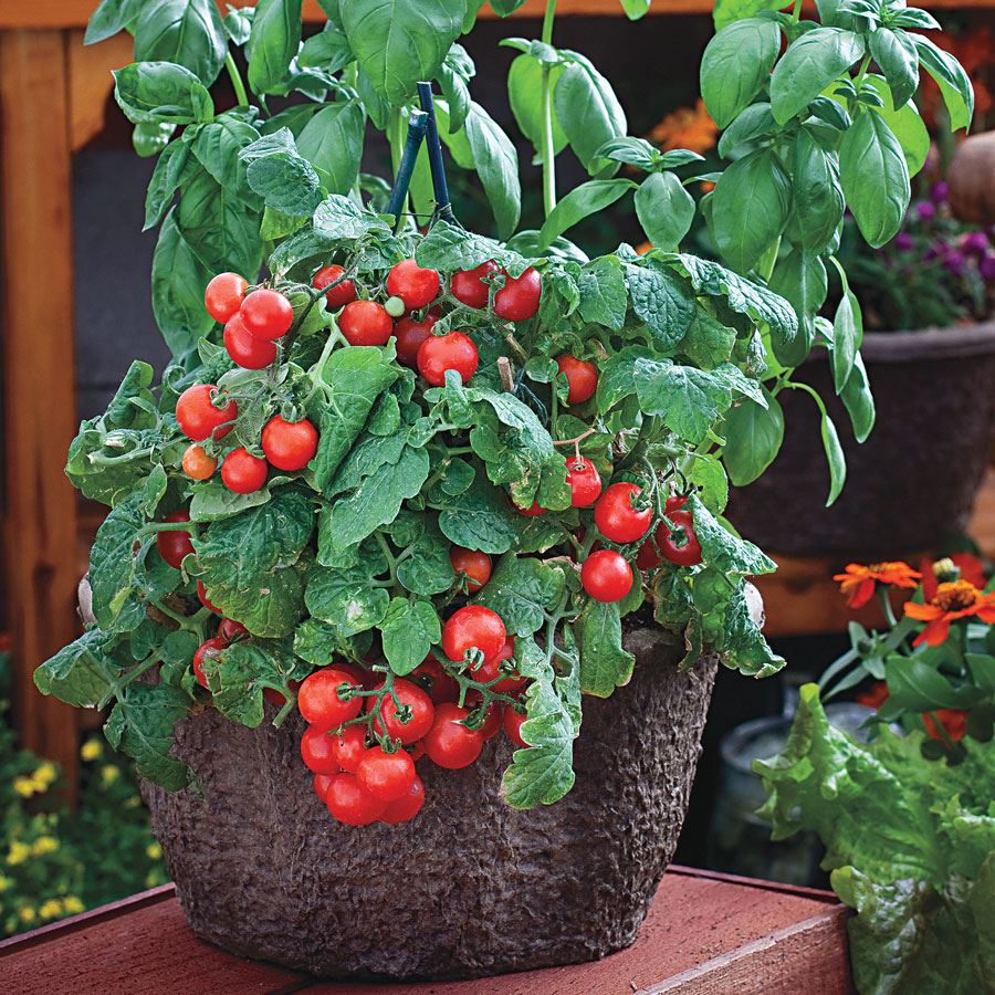 Red Robin Tomato Seeds Image