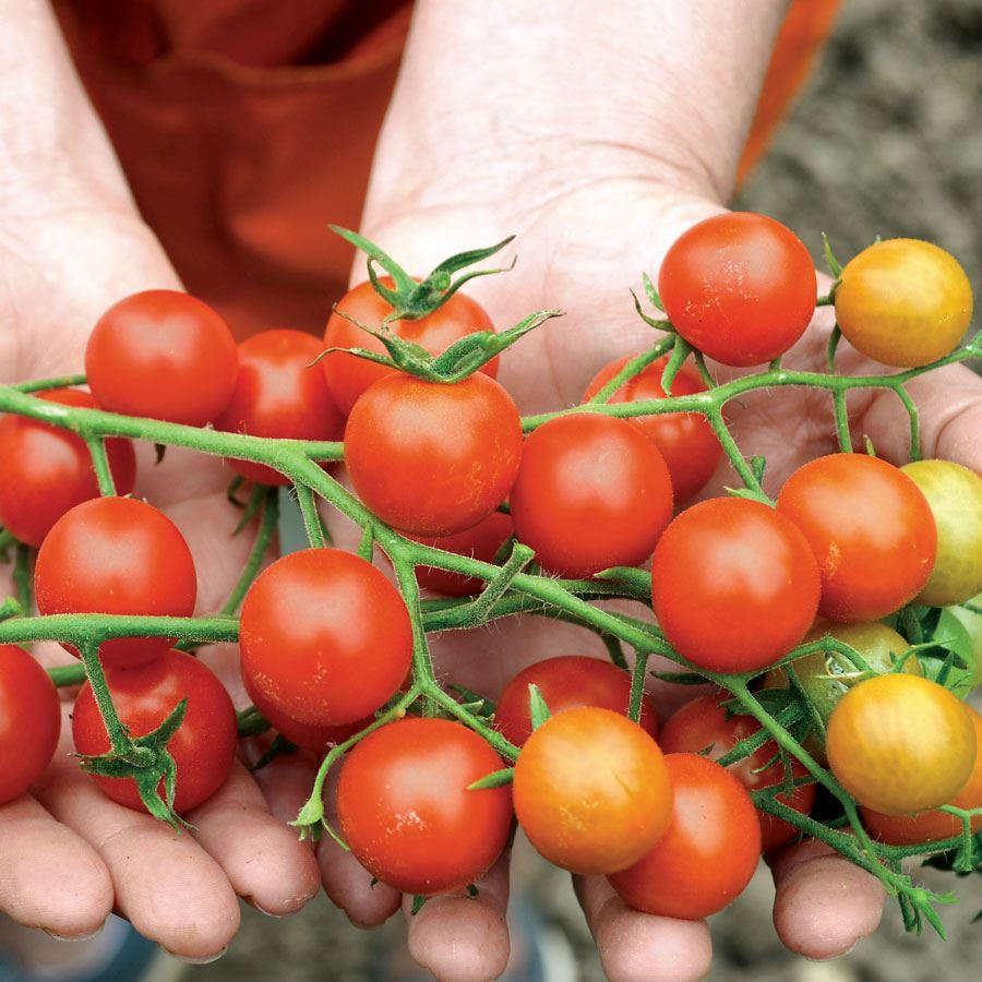 Supersweet 100 Hybrid Cherry Tomato Seeds Image