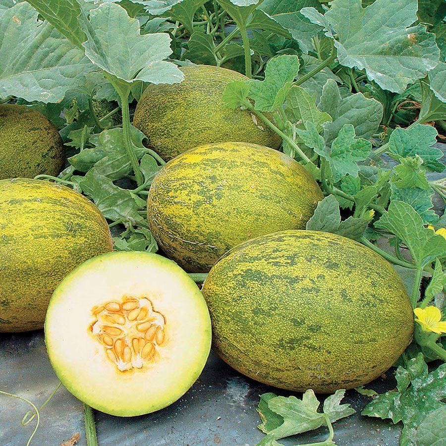 Lambkin Hybrid Melon Seeds Image