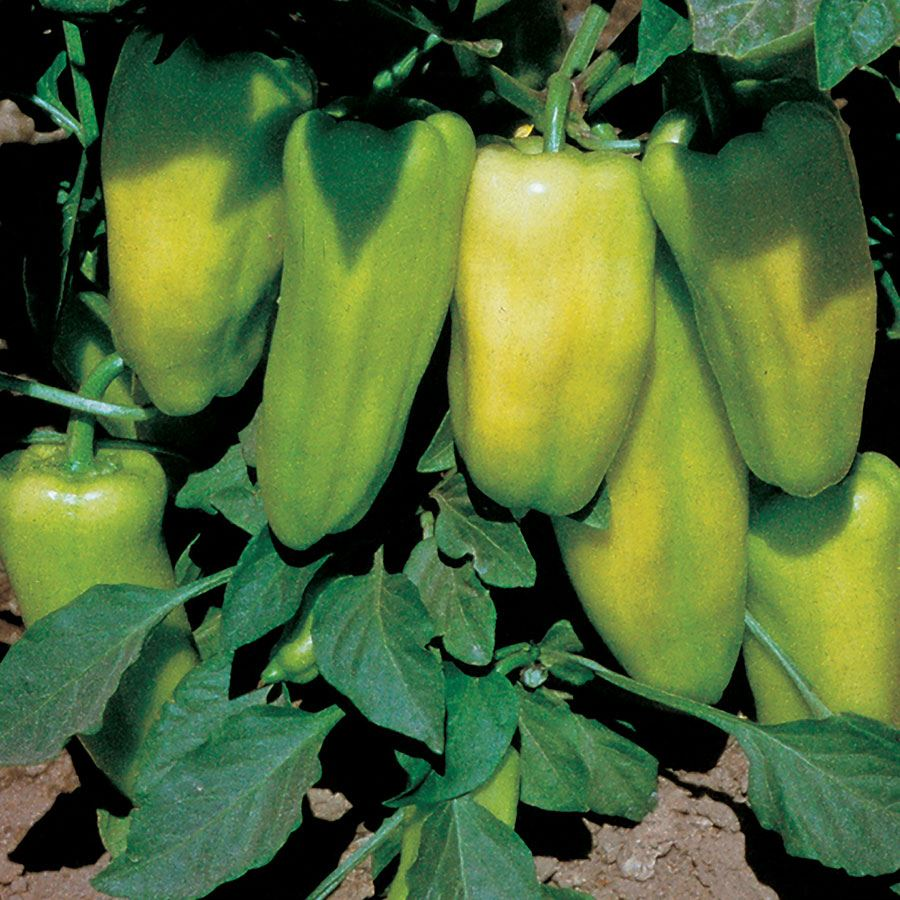 Gypsy Hybrid Sweet Pepper Seeds Image